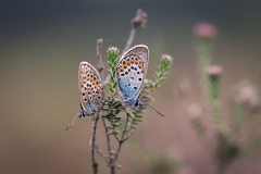 Heideblauwtjes-Macro